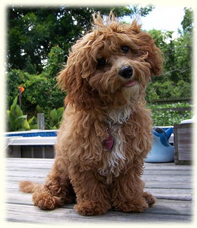 Cava-poo-chon, el perro siempre cachorro, Single Life